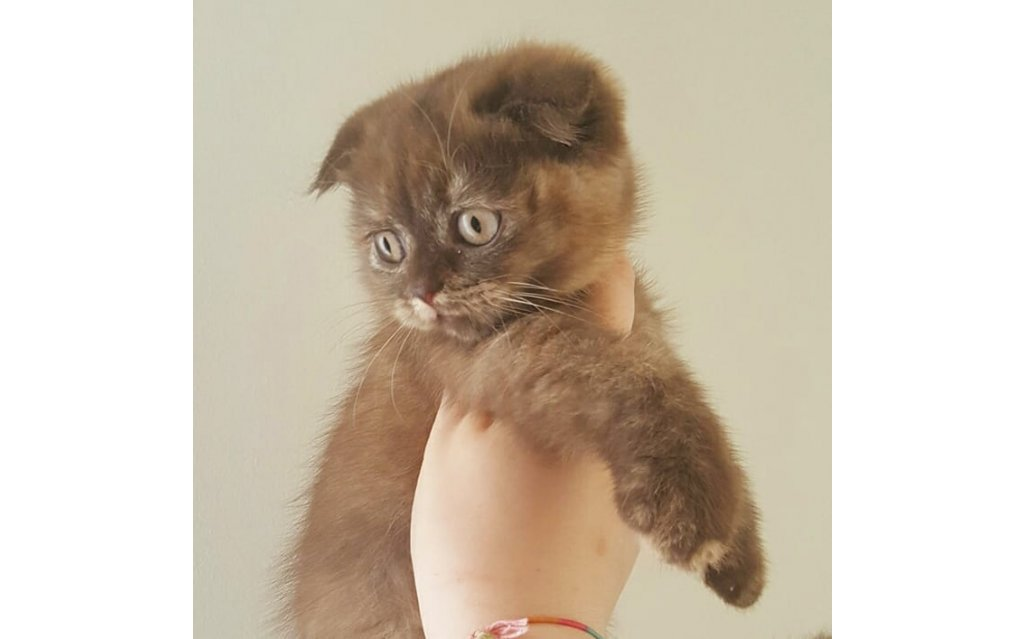 Scottishfold cinnemon tortie (ticked)